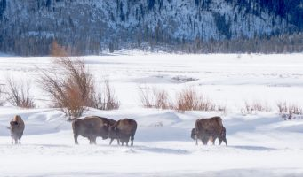 bisons du Yellowstone sous la neige