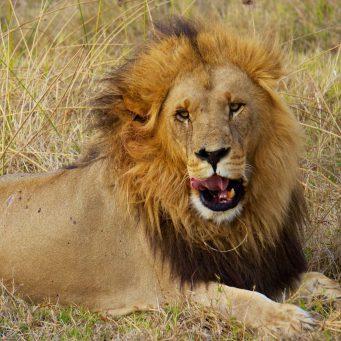 un lion dans la savane